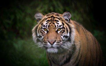 тигр, взгляд, окрас