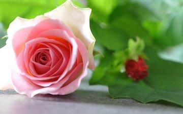 роза, бутон, розовая
