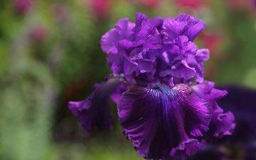 макро, цветок, фиолетовый, ирис