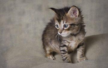 фон, кошка, взгляд, котенок