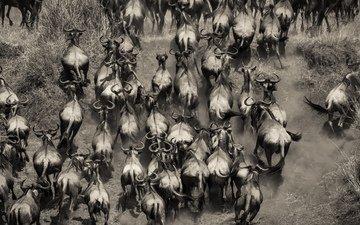 африка, стадо, кения, буйволы
