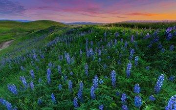 цветы, пейзаж, поле, луг, люпины