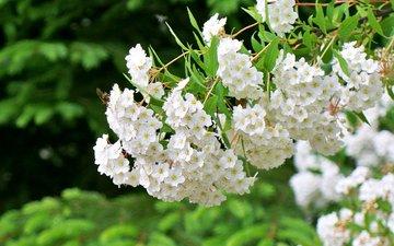 цветы, цветение, весна, белые, растение, пчела, спирея