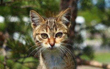 лес, усы, взгляд, котик