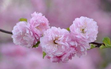 branch, macro, pink, sakura