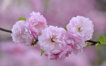 ветка, макро, розовый, сакура