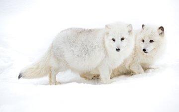 снег, пара, песец, арктическая лисица