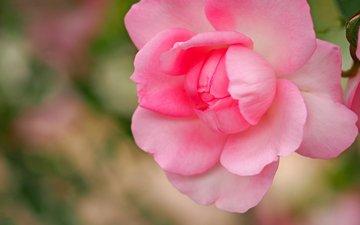 макро, роза, лепестки, бутон, розовая, боке
