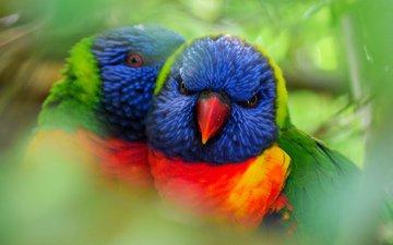 птицы, пара, попугаи