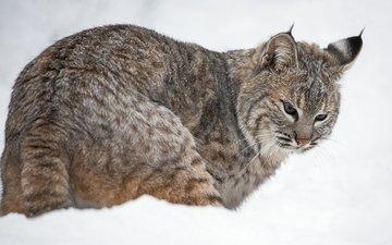 снег, рысь, хищник