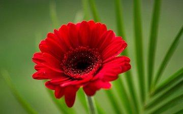макро, цветок, гербера