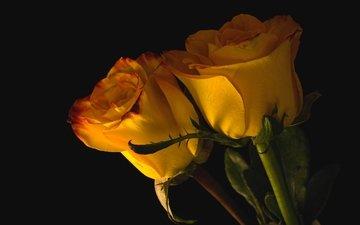 бутоны, розы, пара, желтые