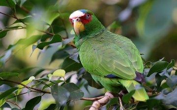 зелёный, ветки, птица, попугай