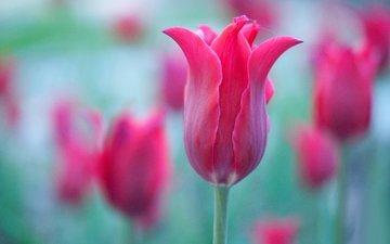 макро, лепестки, краски, тюльпан