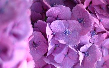 макро, цветки, гортензия