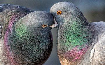 птицы, пара, голуби