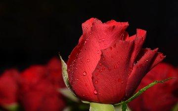 макро, фон, капли, роза, красная, бутон, боке