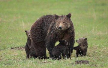 природа, лето, медведи, детеныши, медвежата
