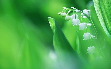 листья, краски, весна, соцветие, ландыш