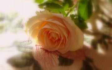 роза, тени, желтая роза