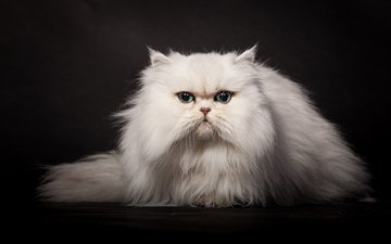 мордочка, кошка, темный фон, белая, пушистая, персидская