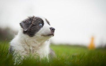 трава, природа, мордочка, собака, серый, луг, щенок, аусси