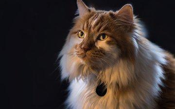 фон, портрет, кот, кошка, взгляд, пушистая