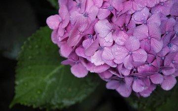 цветы, зелень, макро, капли, лето, гортензия