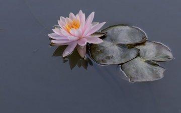 вода, листья, кувшинка, нимфея, водяная лилия
