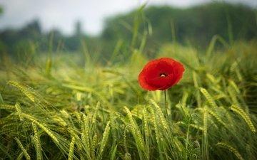 трава, зелень, поле, красный, мак, весна, краcный, poppy, весенние, грин