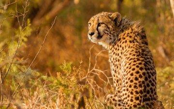 взгляд, гепард, дикая кошка