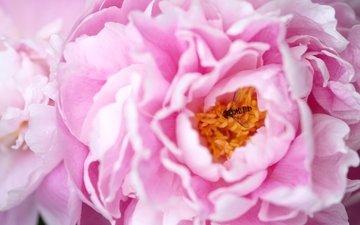 макро, насекомое, розовый, пион
