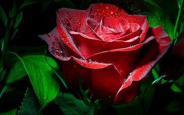 листья, цветок, капли, роза, красная