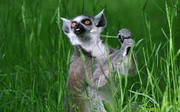 трава, лемур, кошачий лемур, катта