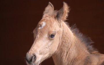 лошадь, взгляд, мордашка, конь, жеребенок