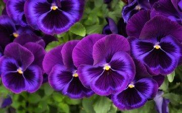 цветы, макро, лепестки, анютины глазки, фиалка виттрока