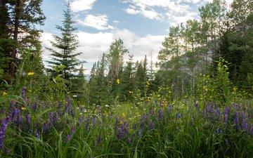 цветы, трава, деревья, горы, скалы, лес, поляна, ромашки, канада, провинция альберта, лютики, люпин
