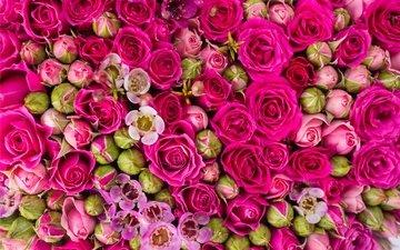 цветы, бутоны, розы, розовые, цветы, роз, пинк
