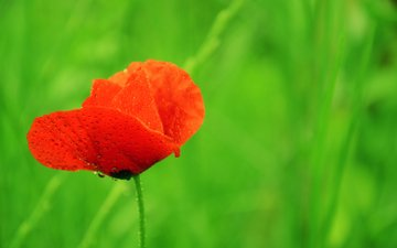цветок, капли, красный, мак, краcный, poppy