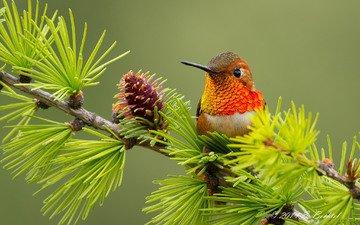 ветка, птица, колибри