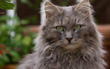 глаза, кот, кошка, взгляд, пушистый, серый