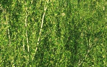 деревья, зелень, ветки, ветви, березы, береза, зеленое, после дождя