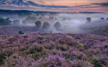 цветы, природа, закат, туман, луг, зарево, нидерланды, вереск