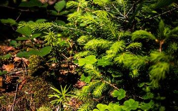 природа, дерево, растения, лес, листья, хвоя, ветки, лето, ель