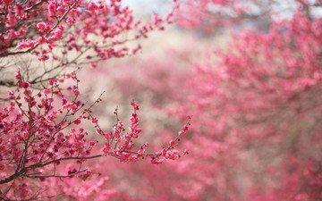 цветы, дерево, бутоны, весна, вишня