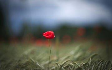 фокус камеры, макро, цветок, поле, лепестки, красный, мак, колосья, пшеница, один