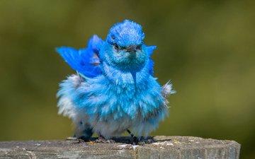 птица, клюв, перья, окрас, голубая сиалия