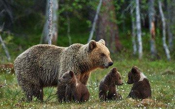 природа, лес, лето, поляна, размытость, отдых, семья, медведи, боке, медведица, медвежата, бурые, очаровательные