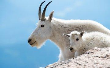небо, горы, коза, белые, козел, козленок, горные козы, животные парнокопытные