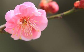ветка, фокус камеры, макро, цветок, лепестки, размытость, розовый, абрикос